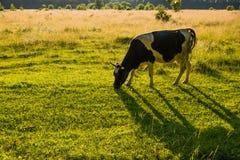betar betande green för kor Arkivbild