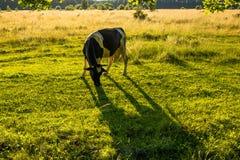 betar betande green för kor Arkivfoton