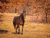Betar den arabiska hästen för den mörka fjärden som går i solig nedgång arkivbilder