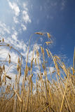 Betekenis van vrede - tarwe en blauwe hemel Royalty-vrije Stock Foto's