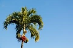 Betel - ανάπτυξη δέντρων καρυδιών Kauai Στοκ φωτογραφίες με δικαίωμα ελεύθερης χρήσης