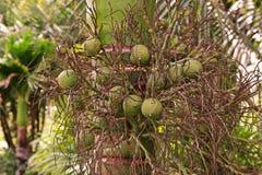 Betel - καρύδι ή Areca καρύδι Στοκ Φωτογραφίες