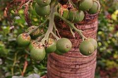 Betel - καρύδι ή Areca καρύδι Στοκ Εικόνα
