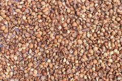 Betel - ξήρανση καρυδιών ή areca καρυδιών στο πάτωμα στον ήλιο Στοκ εικόνες με δικαίωμα ελεύθερης χρήσης