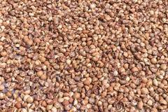 Betel - ξήρανση καρυδιών ή areca καρυδιών στο πάτωμα στον ήλιο Στοκ φωτογραφία με δικαίωμα ελεύθερης χρήσης