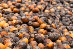 Betel - υπόβαθρο καρυδιών ή Areca καρυδιών Στοκ Εικόνες