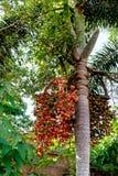 Betel - φοίνικας ή καρύδια καρυδιών στο δέντρο Στοκ φωτογραφία με δικαίωμα ελεύθερης χρήσης