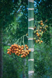 Betel φοίνικας ή areca δέντρο catechu και φρούτα, Khao Sok, Ταϊλάνδη Στοκ Φωτογραφία