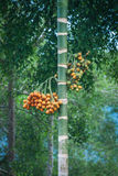 Betel φοίνικας ή areca δέντρο catechu και φρούτα, Khao Sok, Ταϊλάνδη Στοκ εικόνες με δικαίωμα ελεύθερης χρήσης