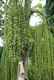 Betel φοίνικας ή betel - καρύδι ή Areca πράσινος ακατέργαστος catechu στη δέσμη Στοκ φωτογραφία με δικαίωμα ελεύθερης χρήσης