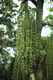 Betel φοίνικας ή betel - καρύδι ή Areca πράσινος ακατέργαστος catechu στη δέσμη Στοκ Φωτογραφία