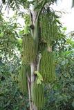 Betel φοίνικας ή betel - καρύδι ή Areca πράσινος ακατέργαστος catechu στη δέσμη Στοκ φωτογραφίες με δικαίωμα ελεύθερης χρήσης