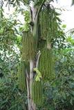 Betel φοίνικας ή betel - καρύδι ή Areca πράσινος ακατέργαστος catechu στη δέσμη Στοκ Εικόνες
