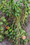 Betel φοίνικας ή betel - καρύδι Στοκ Εικόνες
