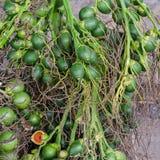 Betel φοίνικας ή betel - καρύδι Στοκ Φωτογραφία
