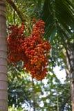 betel φοίνικας στοκ φωτογραφία με δικαίωμα ελεύθερης χρήσης