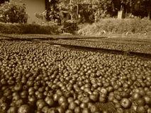 Betel - Areca καρυδιών καρύδια που κρατιούνται για την ξήρανση στοκ φωτογραφίες