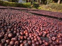 Betel - Areca καρυδιών καρύδια που κρατιούνται για την ξήρανση στοκ φωτογραφία
