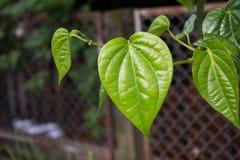 Betel, betel leaf, betel leaves,Thai herb Royalty Free Stock Images