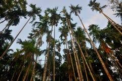 Betel - dokrętki Lub areki dokrętki drzewo Zdjęcia Royalty Free