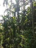 betel - dokrętki drzewo fotografia stock