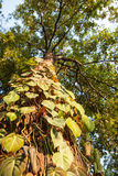 Betel on the high tree in the evening light Stock Images
