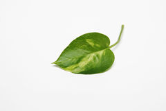 Betel leaf. Piper betle leaf on white background Royalty Free Stock Photos