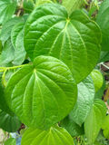 Betel leaf Stock Photos