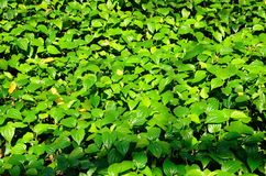 Betel Leaf Stock Image