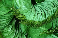 Betel leaf of Indian subcontinent Royalty Free Stock Images