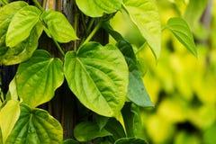 Betel Leaf Stock Photography