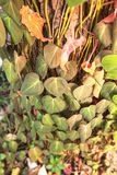 Betel leaf on the tree Stock Photos