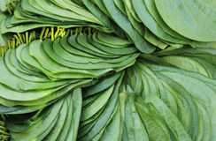 Betel leafs Stock Image