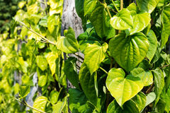 Betel Leaves At Agriculture Plantation Royalty Free Stock Images