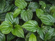 Betel leaves background. Green betel leaves in the garden. stock image