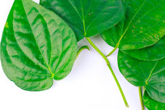 Betel leaves are medicinal plants. Royalty Free Stock Photography