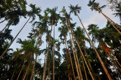 Betel Nut Or Areca Nut tree. In Andaman India Royalty Free Stock Photos