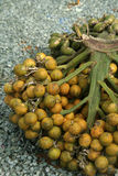 Betel-Nut Crop. Crop of betel-nut also called areca nut or Areca catechu Stock Photo