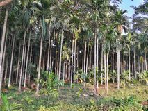 Betel nut cultivation in a village. royalty free stock photos