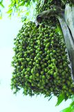 Betel nut fruit hanging from the tree. A bunch of green betel nut palm hanging from the tree Stock Photography
