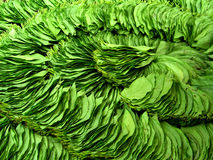 Betel nut leaves Stock Photos