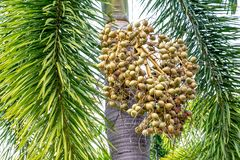 Betel nut palm or Betel Nuts on tree, Areca catechu tree. Plant royalty free stock image