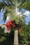 Betel-nut palm Royalty Free Stock Photos