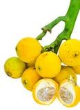 Betel Nut Palm Fruits. Stock Photos