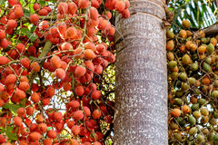 Betel nut palm or nuts on tree. Bunch of green and red ripe tropical Betel Nut or Areca palm Catechu on tree. Betel leaves are used in folk medicine of Asian Stock Images