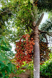 Betel nut palm or nuts on tree Royalty Free Stock Photo