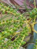 Betel Nut Palm Tree. Green betel nut on palm tree stock photos