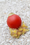 Betel nut. Red betel nut with it's flower Stock Images