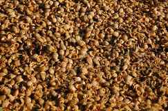 Betel nut shells. A pile of betel nut shells is ready for production of home-made alcohol in India Stock Image