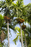 Betel nut tree. Taking from bottom to top Stock Photography